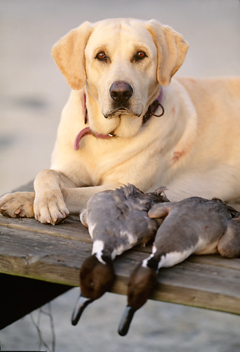 DOG 18 DB0059 01 © Kimball Stock Yellow Labrador Retriever Laying On Dock With Two Pintail Ducks