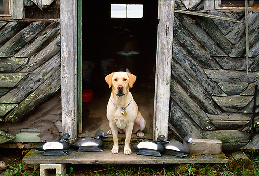 DOG 18 DB0062 01 © Kimball Stock Yellow Labrador Retriever Sitting In Cabin Doorway With Duck Decoys