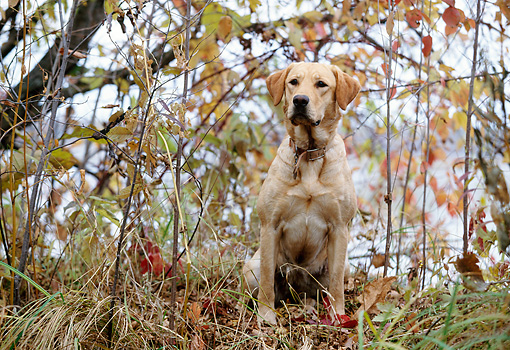 DOG 18 DB0064 01 © Kimball Stock Yellow Labrador Retriever Sitting In Woods In Autumn