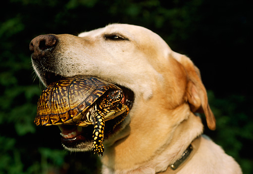 DOG 18 DB0068 01 © Kimball Stock Head Shot Of Yellow Labrador Retriever With Turtle In Mouth