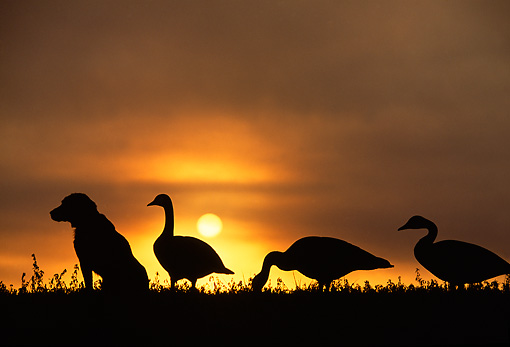 DOG 18 DB0069 01 © Kimball Stock Silhouette Of Labrador Retriever With Goose Decoys At Dawn