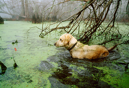 DOG 18 DB0070 01 © Kimball Stock Yellow Labrador Retriever Wading In Marsh