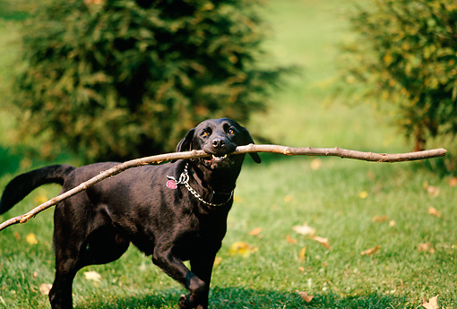 DOG 18 DB0071 01 © Kimball Stock Black Labrador Retriever Playing With Stick
