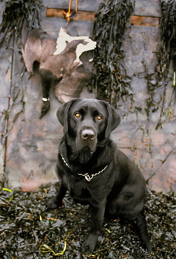 DOG 18 DB0072 01 © Kimball Stock Portrait Of Black Labrador Retriever With Brant Goose