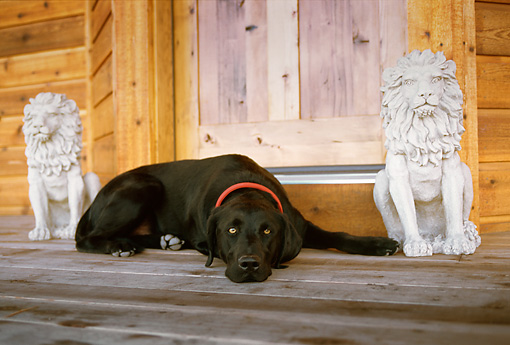 DOG 18 DB0073 01 © Kimball Stock Black Labrador Retriever Laying On Porch Between Stone Lions