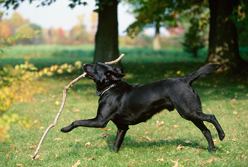 DOG 18 DB0077 01 © Kimball Stock Black Labrador Retriever Playing With Stick