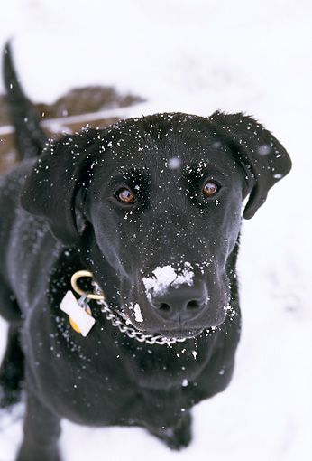 DOG 18 DB0080 01 © Kimball Stock Overhead Shot Of Black Labrador Retriever Sitting In Snow