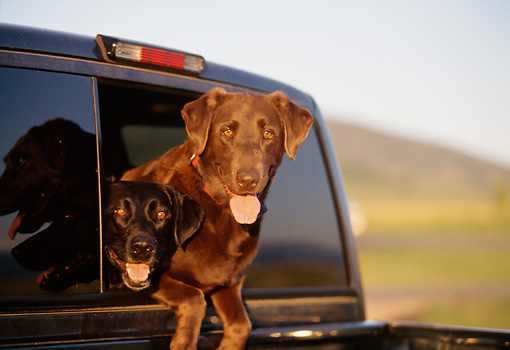 DOG 18 DB0082 01 © Kimball Stock Black And Chocolate Labrador Retrievers Peering Out Truck Window