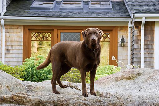 Labrador retriever animal stock photos kimballstock for Dog house for labrador retriever