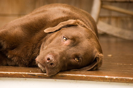 DOG 18 DB0091 01 © Kimball Stock Chocolate Labrador Retriever Laying On Porch