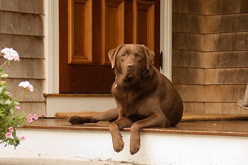 DOG 18 DB0092 01 © Kimball Stock Chocolate Labrador Retriever Laying On Porch With Flowers