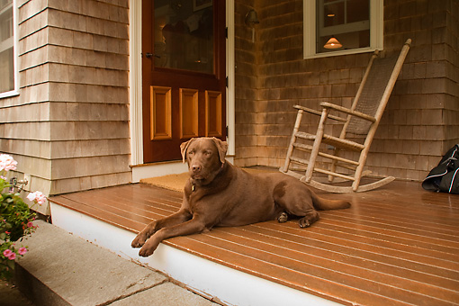 DOG 18 DB0093 01 © Kimball Stock Chocolate Labrador Retriever Laying On Porch