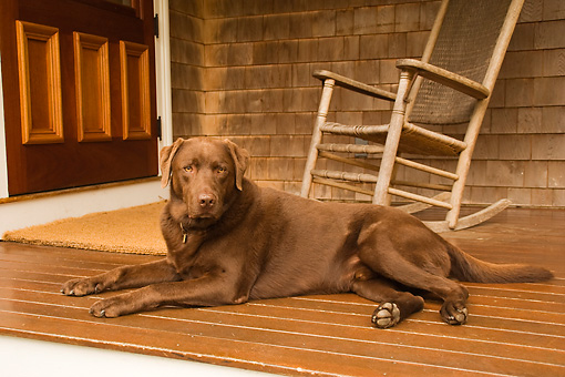 DOG 18 DB0094 01 © Kimball Stock Chocolate Labrador Retriever Laying On Porch Near Rocking Chair