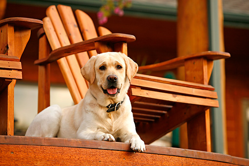 DOG 18 DB0109 01 © Kimball Stock Yellow Labrador Retriever Laying On Wooden Deck By Chair