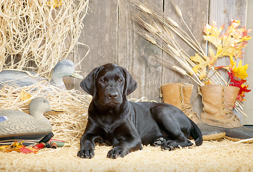 DOG 18 DC0042 04 © Kimball Stock Portrait Of Black Labrador Retriever Laying On Hay In Barn