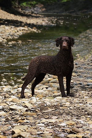 DOG 18 DC0055 01 © Kimball Stock Portrait Of Curly Coated Black Retriever By Creek