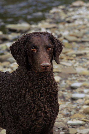 DOG 18 DC0056 01 © Kimball Stock Portrait Head Shot Of Curly Coated Black Retriever By Creek