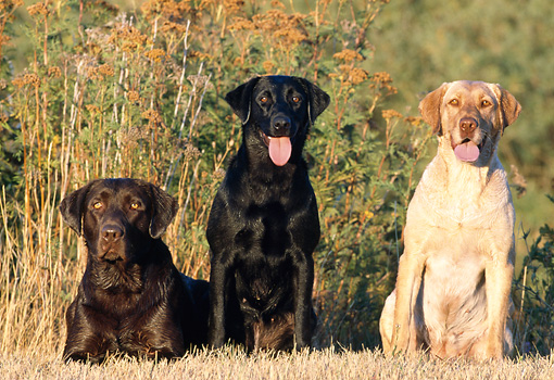 DOG 18 DS0002 01 © Kimball Stock Chocolate, Black, And Yellow Labrador Retrievers Laying And Sitting In Dry Field