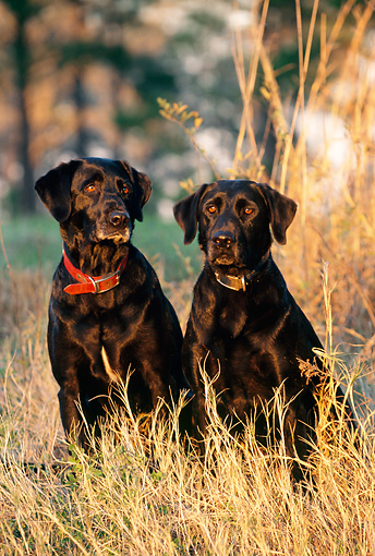 DOG 18 DS0004 01 © Kimball Stock Two Black Labrador Retrievers Sitting In Tall Grass