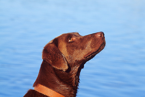 DOG 18 DS0008 01 © Kimball Stock Head Shot Of Chocolate Labrador Retriever Sitting By Water