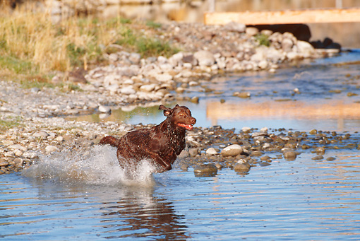 DOG 18 DS0009 01 © Kimball Stock Chocolate Labrador Retriever Running Into Water