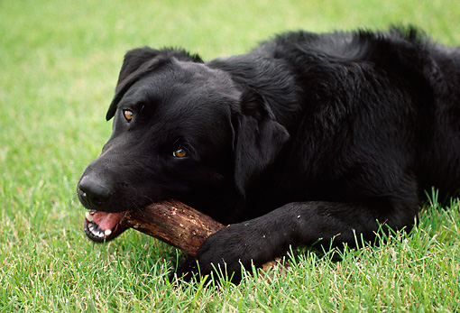 DOG 18 GR0002 02 © Kimball Stock Black Labrador Retriever Laying Down Chewing On Stick On Grass