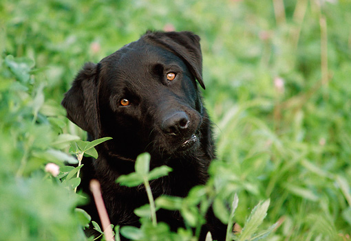 DOG 18 GR0004 01 © Kimball Stock Portrait Head Shot Of Black Labrador Retriever Sitting Behind Foliage