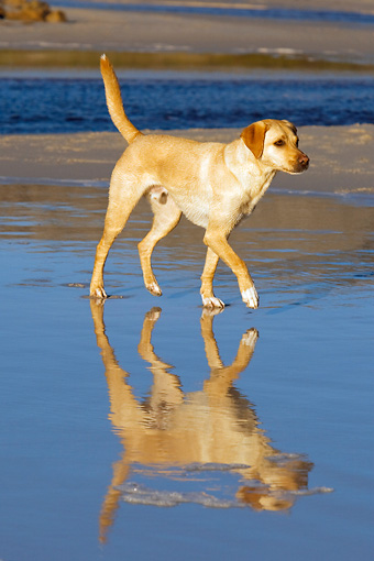 DOG 18 KH0001 01 © Kimball Stock Yellow Labrador Retriever Walking On Beach
