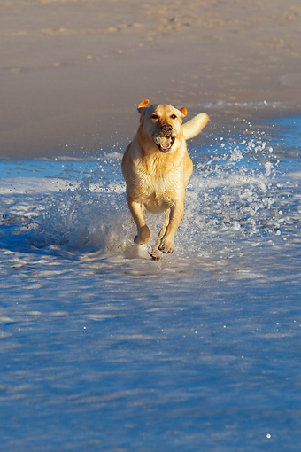 DOG 18 KH0006 01 © Kimball Stock Yellow Labrador Retriever Running On Beach Carrying Tennis Ball