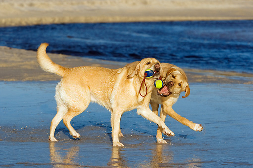 DOG 18 KH0007 01 © Kimball Stock Two Yellow Labrador Retrievers Playing With Tennis Ball Toy On Beach