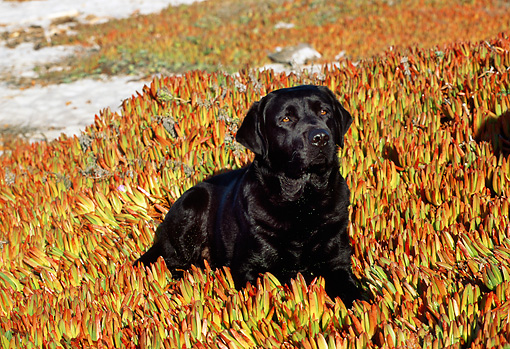 DOG 18 LS0001 01 © Kimball Stock Black Labrador Retriever Laying In Field