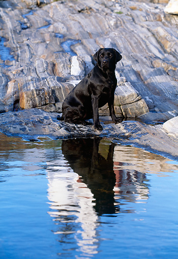 DOG 18 LS0005 01 © Kimball Stock Black Labrador Retriever Sitting On Rocky Shore By Reflection Of Lighthouse