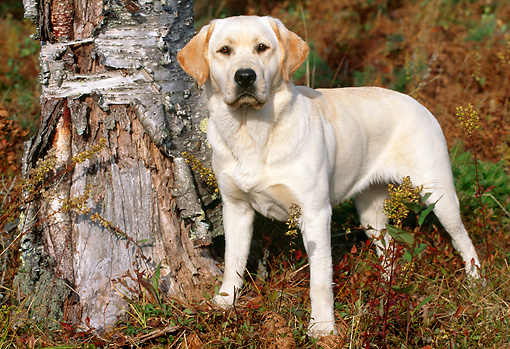 DOG 18 LS0007 01 © Kimball Stock Yellow Labrador Retriever Standing By Tree