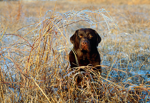 DOG 18 LS0010 01 © Kimball Stock Chesapeake Bay Retriever Sitting In Dry Grass