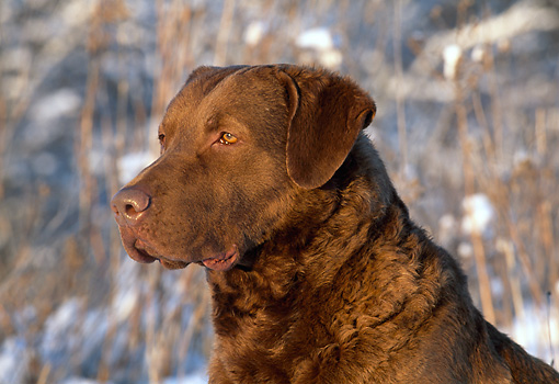 DOG 18 LS0016 01 © Kimball Stock Head Shot Of Chesapeake Bay Retriever Sitting In Field In Winter