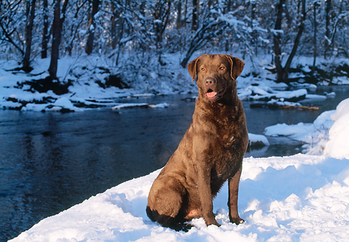 DOG 18 LS0017 01 © Kimball Stock Chesapeake Bay Retriever Sitting On Snow By River In Woods