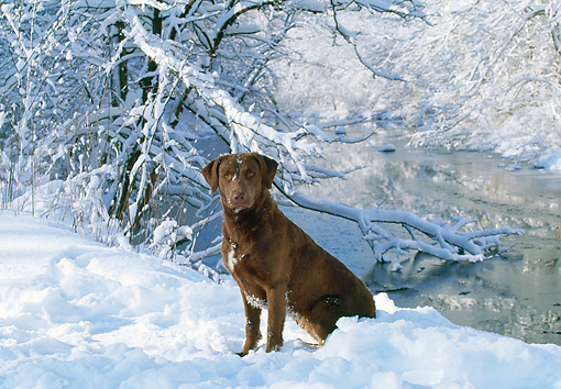 DOG 18 LS0018 01 © Kimball Stock Chesapeake Bay Retriever Sitting On Snow By River In Woods