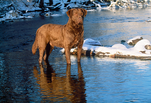 DOG 18 LS0020 01 © Kimball Stock Chesapeake Bay Retriever Standing In River In Winter