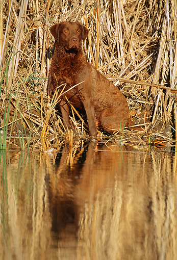 DOG 18 LS0022 01 © Kimball Stock Chesapeake Bay Retriever Sitting In Dry Grass At Edge Of Marsh