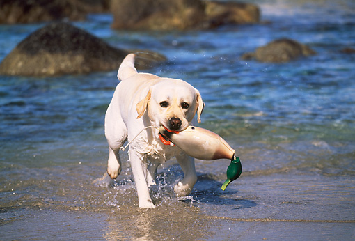 DOG 18 LS0024 01 © Kimball Stock Yellow Labrador Retriever Retrieving Training Duck From Ocean