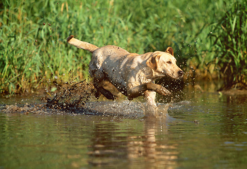 DOG 18 LS0026 01 © Kimball Stock Yellow Labrador Retriever Splashing In Marsh