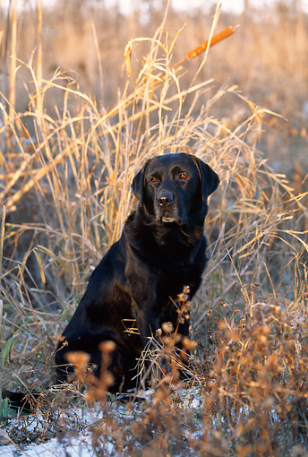 DOG 18 LS0028 01 © Kimball Stock Black Labrador Retriever Sitting Amongst Reeds In Field