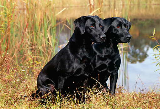 DOG 18 LS0030 01 © Kimball Stock Black Labrador Retrievers Sitting In Field By Pond