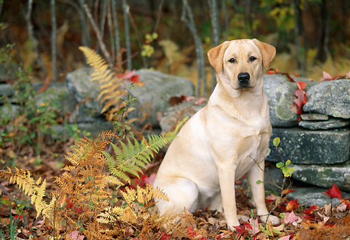 DOG 18 LS0031 01 © Kimball Stock Yellow Labrador Retriever Sitting In Fallen Leaves By Stone Wall