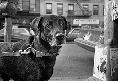 DOG 18 MQ0001 01 © Kimball Stock Black Labrador Retriever On Leash Manhattan New York