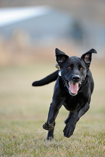 DOG 18 NE0001 01 © Kimball Stock Black Labrador Retriever Running On Grass Head On