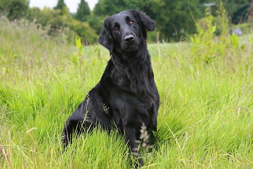 DOG 18 NR0043 01 © Kimball Stock Black Labrador Retriever Sitting In Field