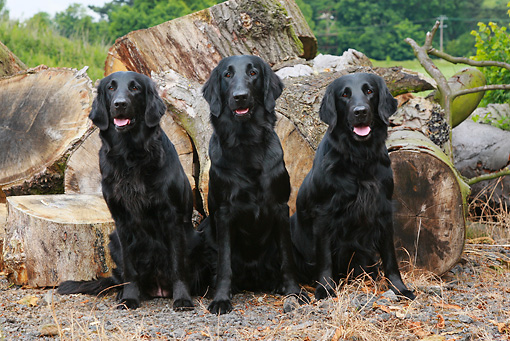 DOG 18 NR0044 01 © Kimball Stock Three Black Labrador Retrievers Sitting Next To Stumps
