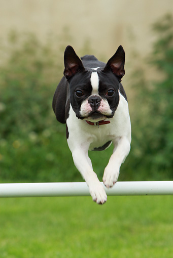DOG 18 NR0046 01 © Kimball Stock Boston Terrier Jumping Over Pole In Field Agility