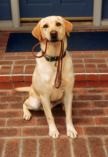 DOG 18 RK0008 02 © Kimball Stock Yellow Labrador Sitting With Leash In Mouth On Front Porch